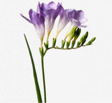 Bouquet of flowers from lilac freesia