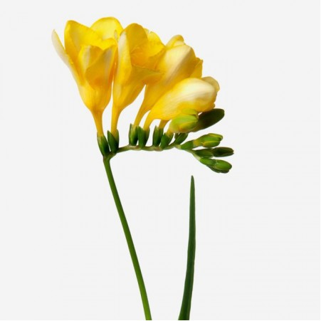 Bouquet of flowers from yellow freesia
