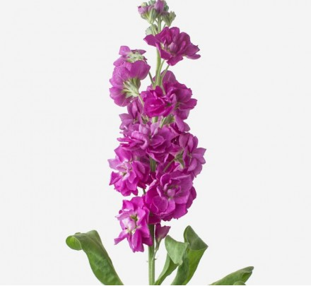 Bouquet of flowers from fuchsia matthiola