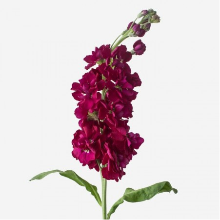 Bouquet of flowers from raspberry matthiola