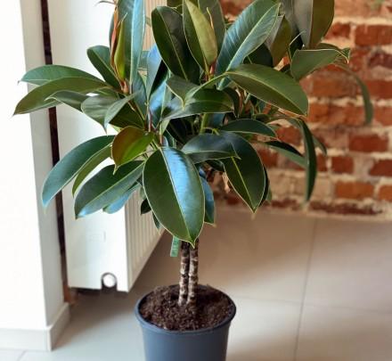 Ficus mielani stem