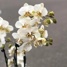 Орхидея фаленопсис №1
