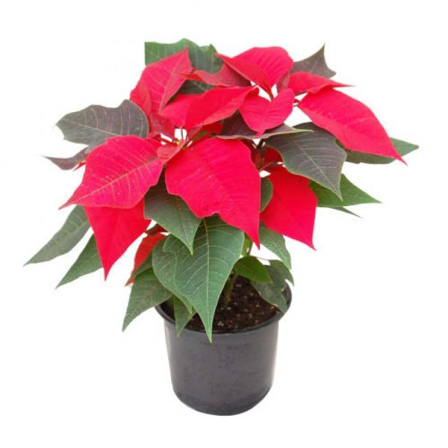 Poinsettia (Christmas Star)