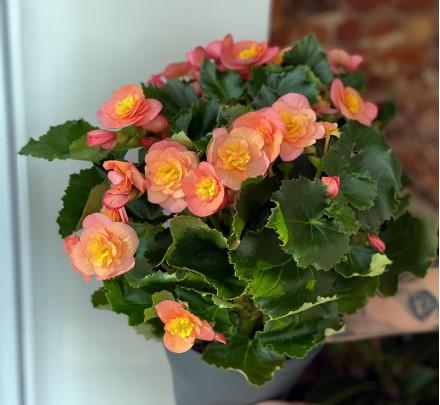 Blooming begonia