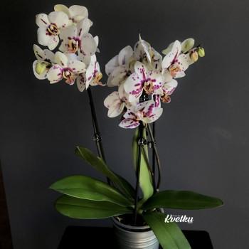 Орхидея фаленопсис №2
