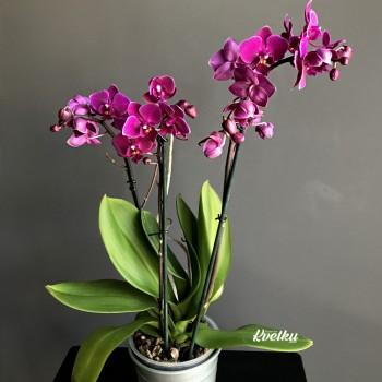 Орхидея фаленопсис №3