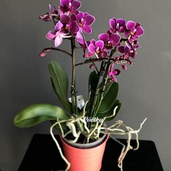 Орхидея фаленопсис №4